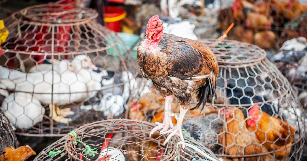China reporta gripe aviar H10N3 en humanos